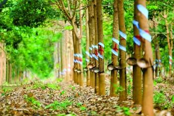 Bình Dương: Thu hồi 345 ha đất của Cao su Phước Hòa làm khu công nghiệp
